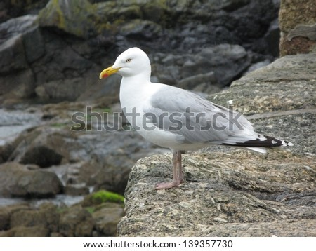 A seagull perched on the rock in Cornwall