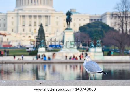 A seagull poses with US Capitol building background. Seagulls permanent hosts of the reflection pool of the Capitol Grounds. - stock photo