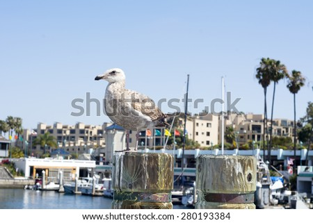 A seagull rests atop a wooden boardwalk post in King Harbor, California during a beautiful sunny day. - stock photo