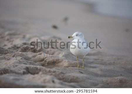 A seagull searches a Cape Cod beach at low tide for bits of food washed ashore by the Atlantic Ocean. - stock photo
