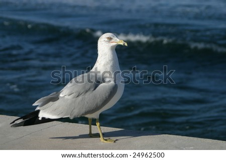 A seagull sitting near the edge of the ocean in Florida, USA.