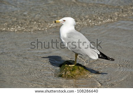 A seagull standing on a rock in the water in Melbourne Beach, Florida. - stock photo