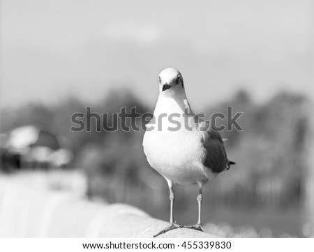 A Seagull Standing on Railing of The Bridge waiting for Food in Black and White Tone for Nature Backgrounds. - stock photo