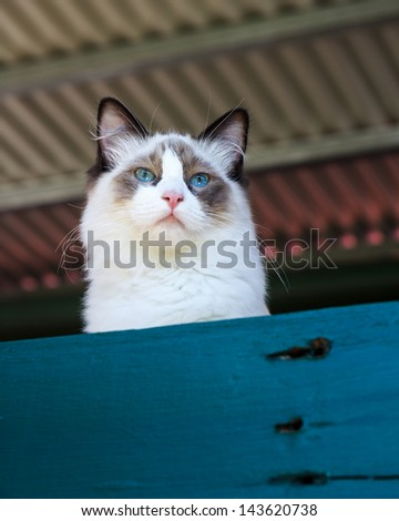 A seal bi-color ragdoll cat with bright blue eyes looking over a blue fence - stock photo