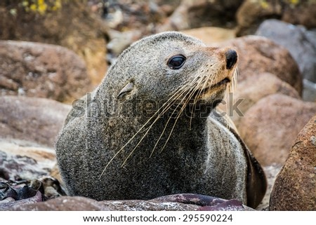 a seal in new zealand - stock photo