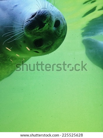 A seal swims upside down with its nose close to the glass. - stock photo