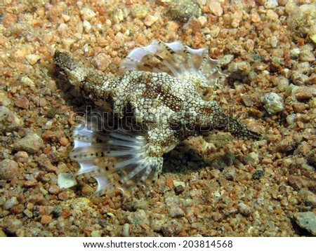A seamoth (little dragon, pegasidae) with fins extended on sand - stock photo