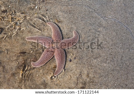 A seastar (Asterias sp. ) crawls across the shallow bottom of a Cape Cod bay in Massachusetts searching for food. Seastars prey on mussels, oysters, quahogs, or scavenge dead marine organisms. - stock photo