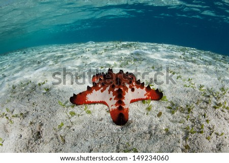 A seastar (Protoreaster nodosus) crawls slowly across a shallow sand flat in the Solomon Islands.  This area is found within the Coral Triangle and is high biological diversity. - stock photo