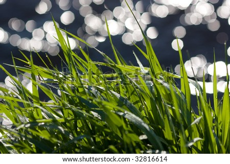 a sedge wet with dew near the river - stock photo