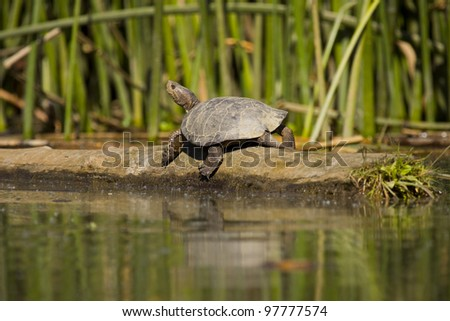 A seemingly smiling western pond turtle, photographed on the Cosumnes River in California. Photo taken from a kayak. - stock photo