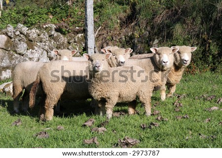 A selection of sheep in the mob stand looking curiously at the camera. - stock photo