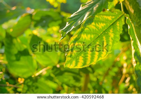 a selective focus picture of green leaves on sunset and green bokeh background