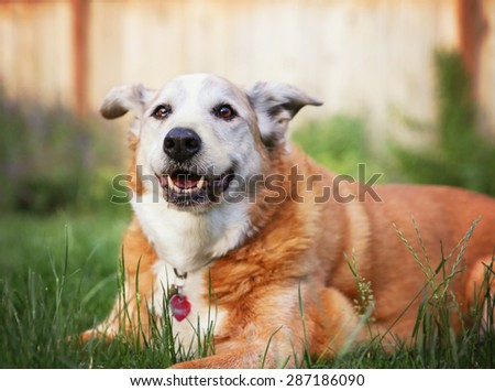 a senior dog laying in the grass in a backyard smiling at the camera - stock photo