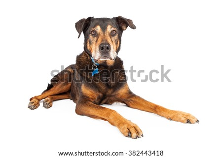 A senior large mixed Shepherd and Rottweiler breed dog laying down on a white studio background, looking at camera