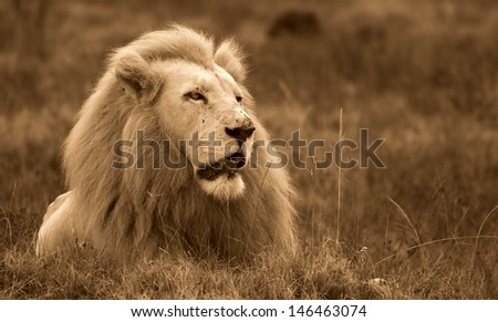 A sepia tone monochrome photo of a majestic big white male lion. Taken in South Africa.