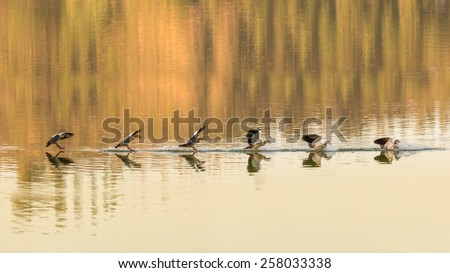 A sequence of images of an Egyptian goose as it safely lands on Babogaya Lake. - stock photo