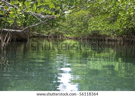 A Serene Mangrove Forest (Horizontal) - stock photo