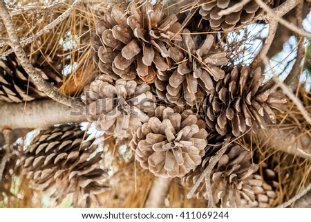 A set of drought acorns hanged to their tree - stock photo