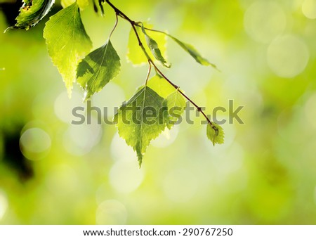 A set of fresh birch leaves in the sunset with a beautiful blurry background. Image has a vintage effect. - stock photo
