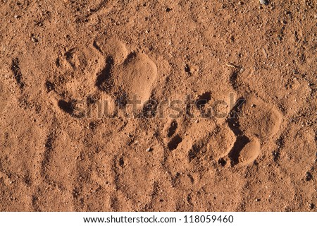 A set of spotted hyena paw prints in the sand