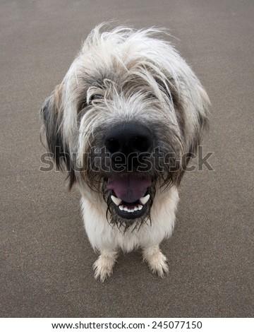 A shaggy blond goofy looking dog on the beach - stock photo