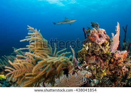 A Shark Swimming Over a Tropical Coral Reef