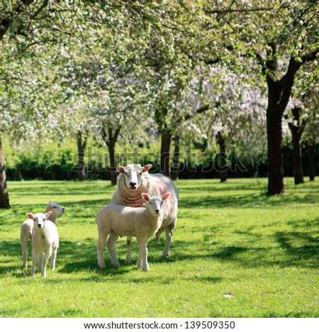 A sheep and lambs in the beautiful orchard, Somerset, UK - stock photo