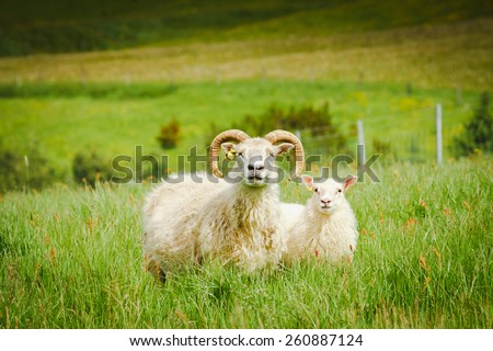 A sheep and ram in a pasture against a grass back in Iceland - stock photo