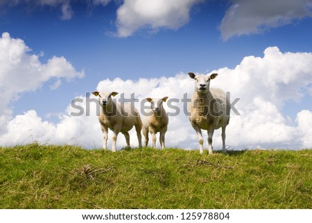 A sheep and two lambs on a dutch dike against a background of a white clouded and blue sky. The sheep are facing towards the camera