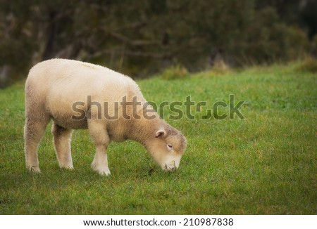 A sheep eating grass in the Adelaide Hills - stock photo