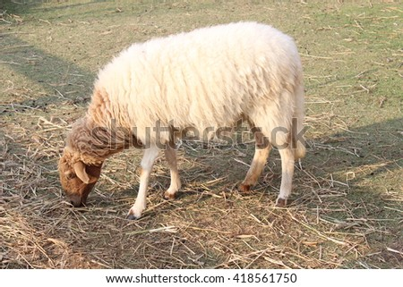 a sheep eating grass on floor - stock photo