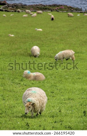 A  sheep grazing with a very shallow depth of field background in County Kerry, Ireland - stock photo