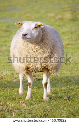 A sheep in a meadow