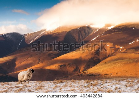 A sheep in a snow-covered field on the mountain of Latrigg, with Skiddaw mountain rising behind, in the English lake district.