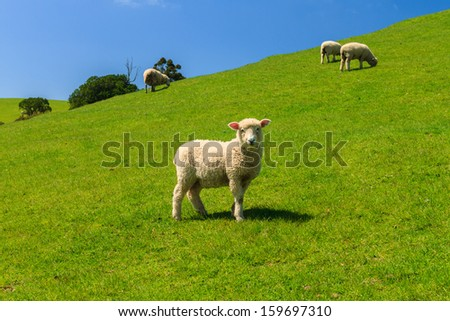 A Sheep on Green Field of the Pacific Sea Coast, Duder Regional Park, Auckland Region, New Zealand - stock photo