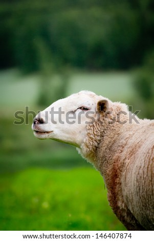 A sheep standing on a green field in Dalarna, Sweden - stock photo