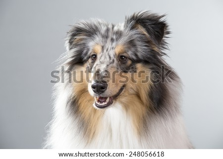 A sheltie portrait. Image taken in a studio. - stock photo