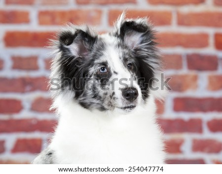 A sheltie portrait. Image taken in a studio against red brick wall. - stock photo