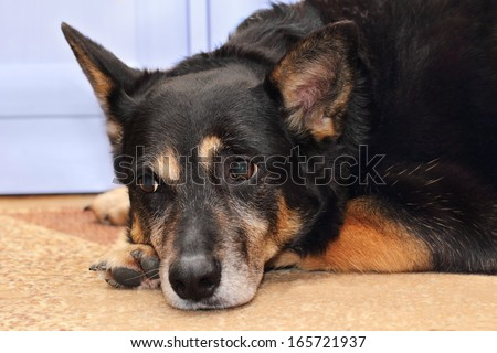 A shepherd dog waiting for her owner indoors