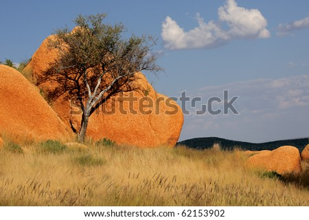 A shepherds tree (Boscia albitrunca) against a rock, Spitzkoppe, Namibia, southern Africa