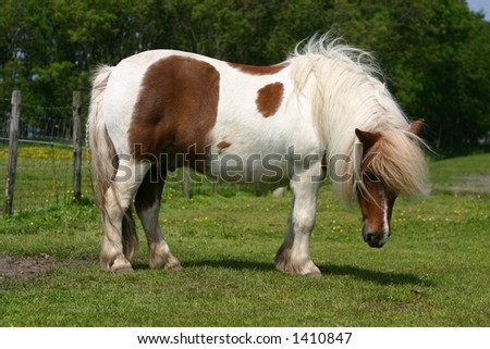 A shetland pony standing in a green field - stock photo