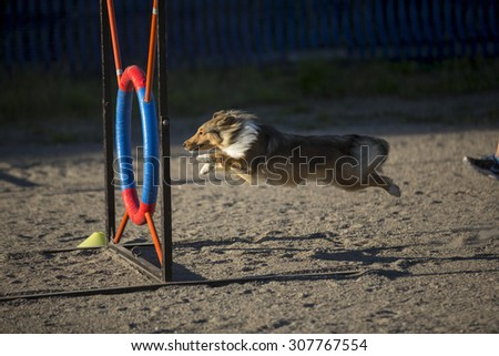 A shetland sheepdog in action in agility competition. Image taken on a sandy track on a summer evening. - stock photo