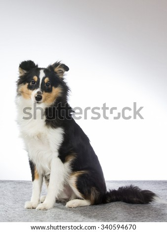 A shetland sheepdog puppy in a studio.  Image taken in a studio. - stock photo