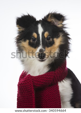 A shetland sheepdog puppy in a studio. The dog is wearing a red scarf. Image taken in a studio. - stock photo