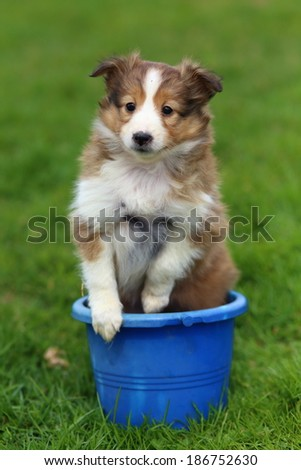 A Shetland Sheepdog puppy sits in a blue plastic bucket on the green grass. - stock photo