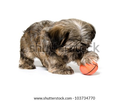 A  Shih Tzu puppy playing with a toy American football on white background - stock photo