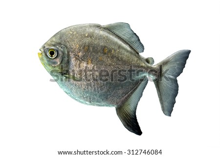 A shinny silver tropical fish isolated on a white background. - stock photo
