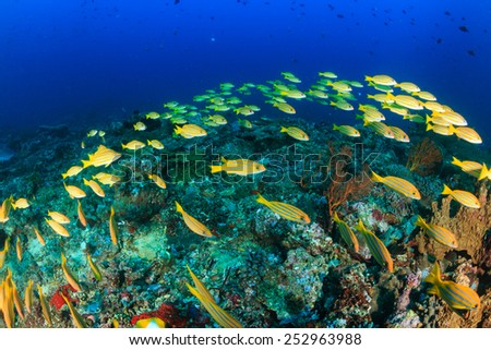 A shoal of Bluestriped Snapper on a tropical coral reef - stock photo