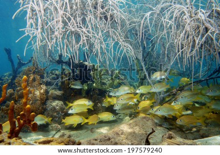 A shoal of grunt fish under gorgonian sea plume in a coral reef, Atlantic ocean - stock photo